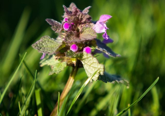 closeup of a ground ivy weed in nice lawn