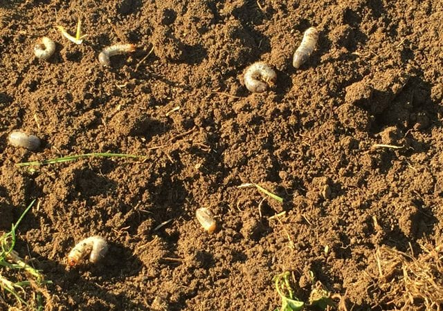 grubs damage in the dirt