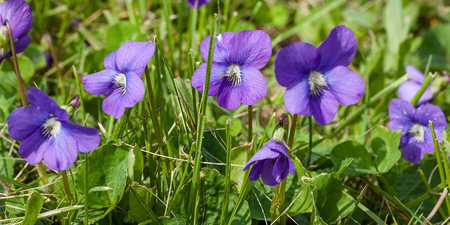 Wild Purple Violets growing in the grass