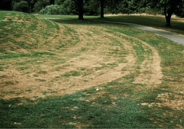 golf course grass damaged with gray leaf spot