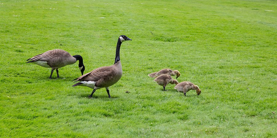 Canada Geese and Babies in Grass