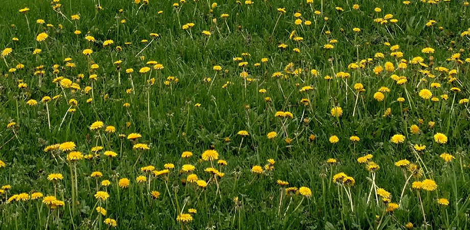 multiple dandelions in the grass