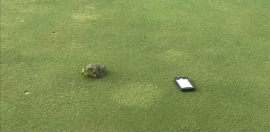 cellphone and frog sitting on golf course surface