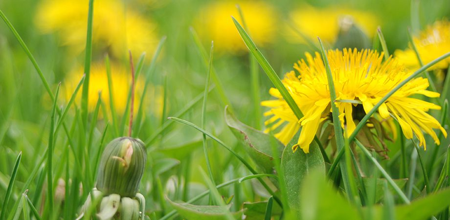 A close up of yellow dandelions in a green lawn