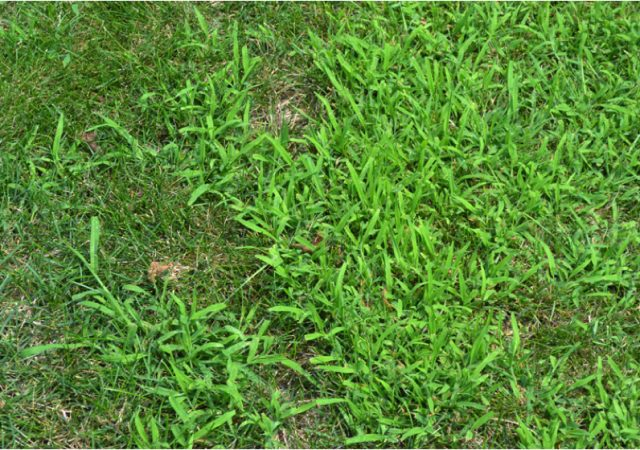 close of crabgrass