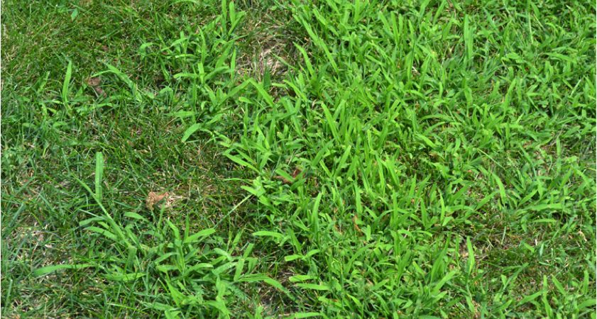 close of crabgrass