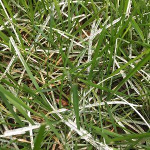 Powdery mildew on grass