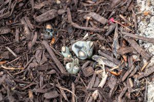 dead man's fingers fungus in mulch