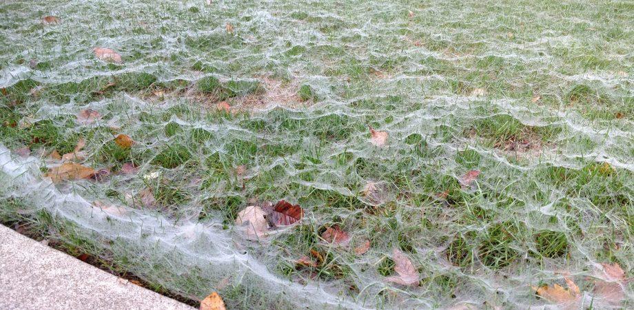 spider webs on lawn